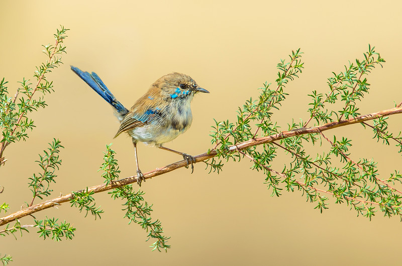 Superb Fairy Wren - Malurus cyaneus (M, eclipse) (Warby Ranges, Vic)