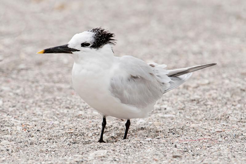 Tern - Sandwich - Blind Pass - Sanibel Island, FL - 01