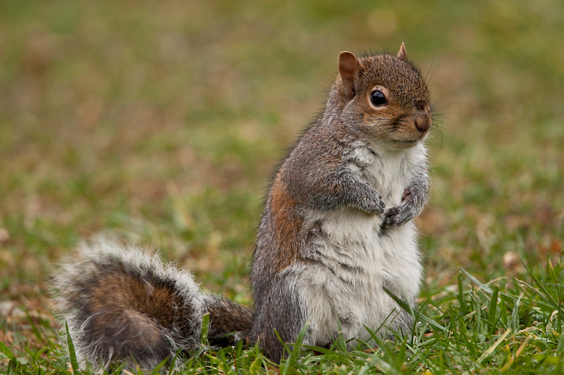 Eastern gray squirrel in cut green grass.