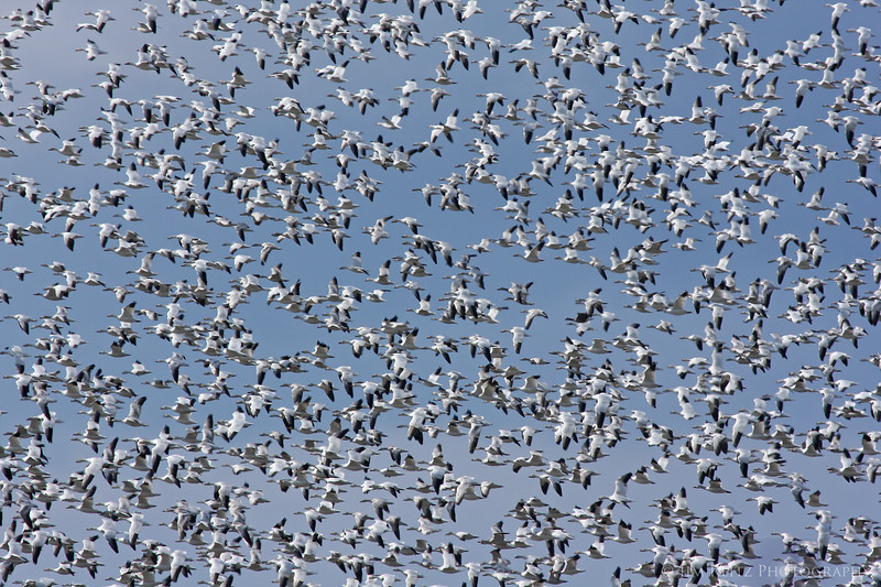 Snow geese fill the skies in the Fir Island area.