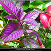 Purple Leaf and Flamingo Flowers