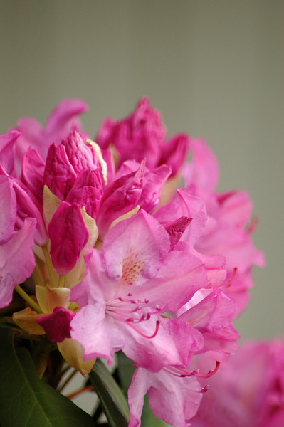 rhododendron _pink (1)r.jpg