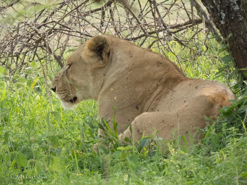 Lions Serengeti - K-1.jpg