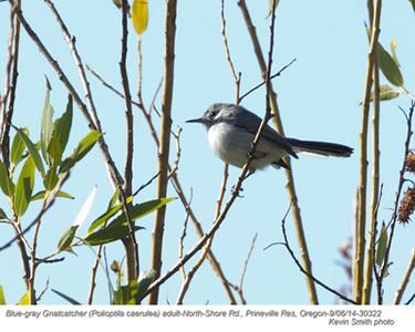 Blue-gray Gnatcatcher A30322.jpg