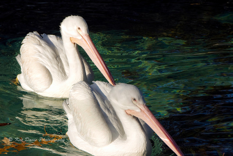 White Pelicans 2.jpg