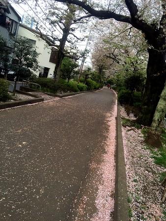 Hatsudai Cherry Blossoms 2016