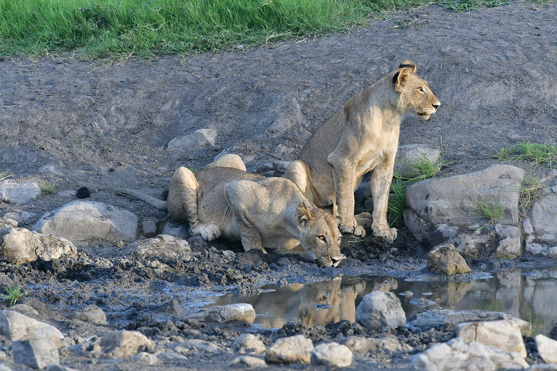 Two Female Lions Drinking