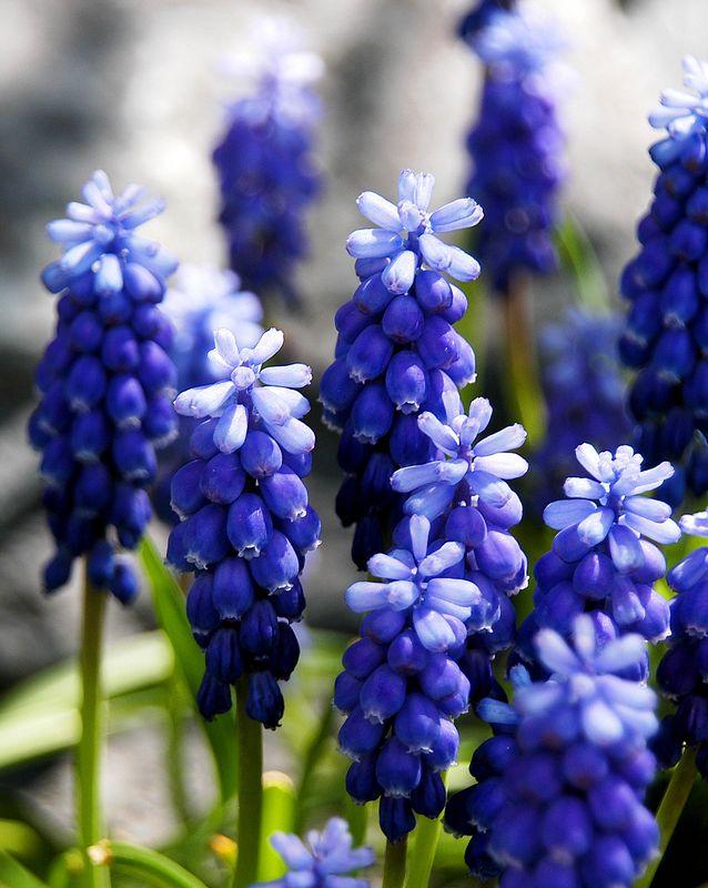 2179 grape hyacinths.jpg