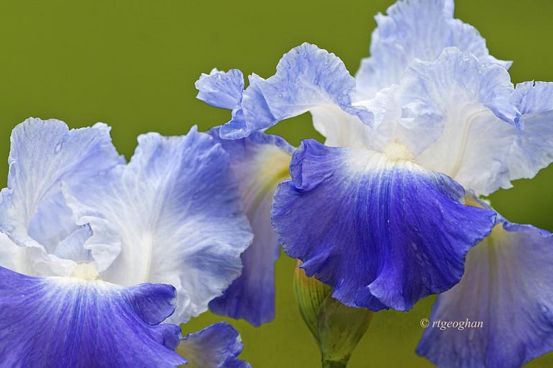 Bearded Iris Clarence