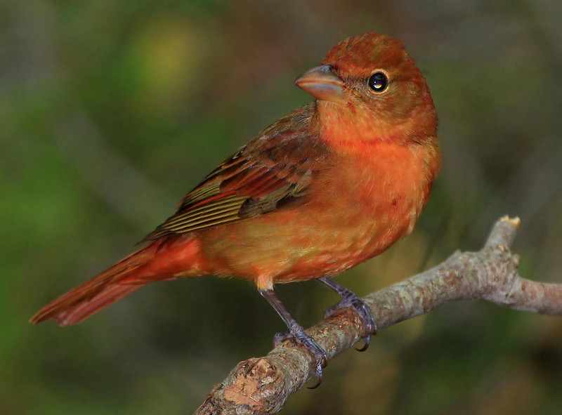 Adult female Eastern Summer Tanager.