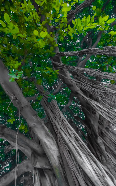Banyan Tree 7
