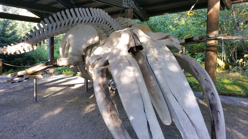 20160718-295 - WEX-Glacier Bay NP-Bartlett Cove-Whale Skeleton.jpg