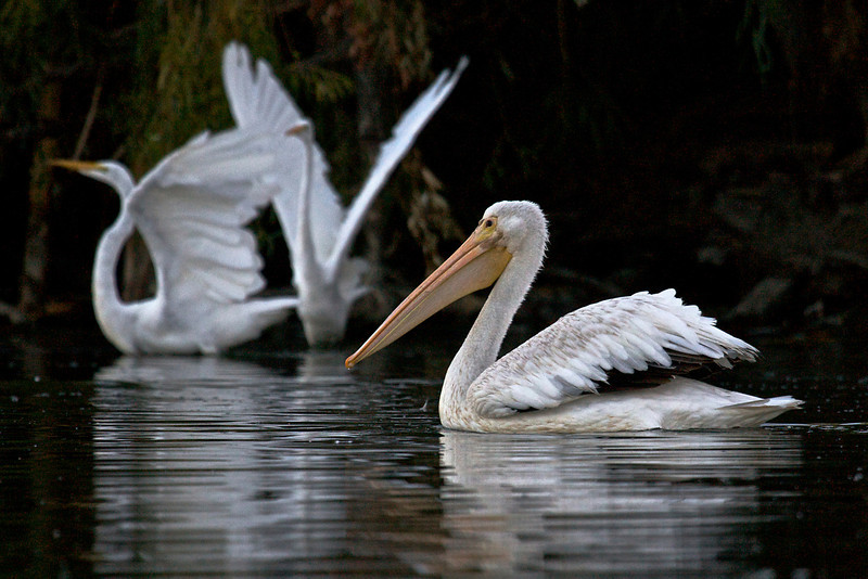 American White Pelican and Great Egrets