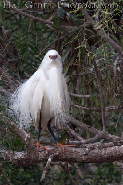 Snowy Egret male Newark, California 1304N-SE11
