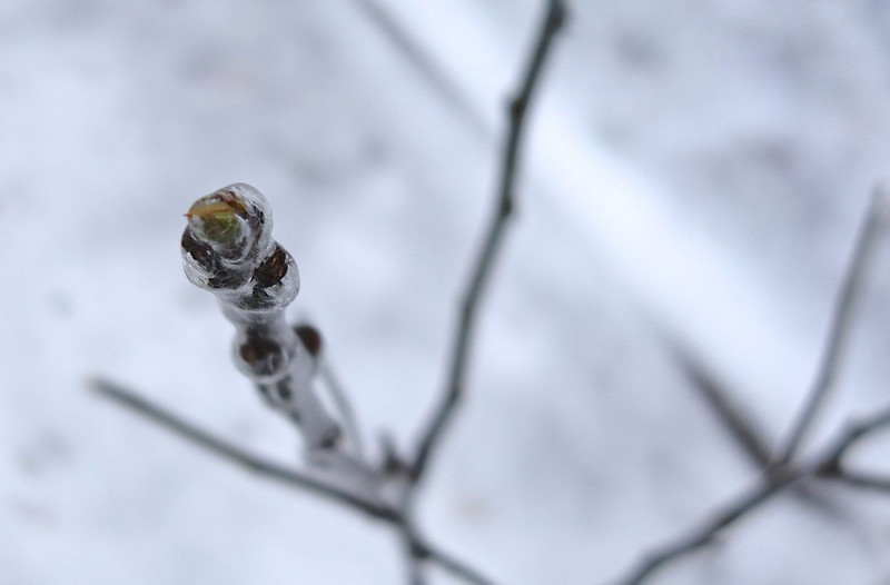 Ice-encased Fig bud