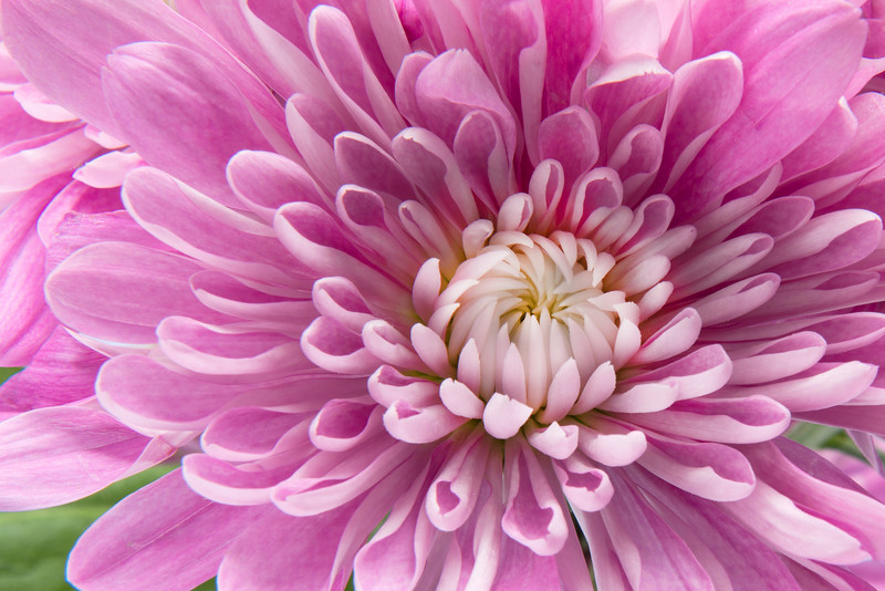 PinkFlowerForWIFDisplay copy.jpg