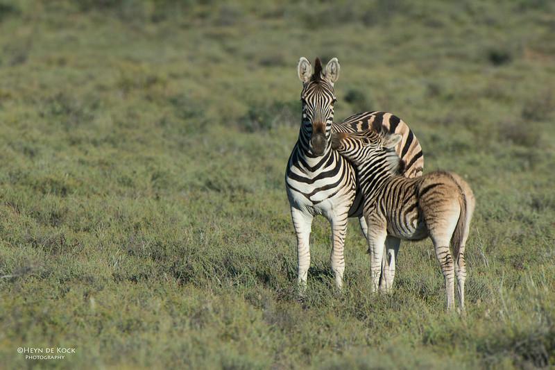 Plains Zebra, Karoo NP, WC, SA, Jan 2014-2.jpg