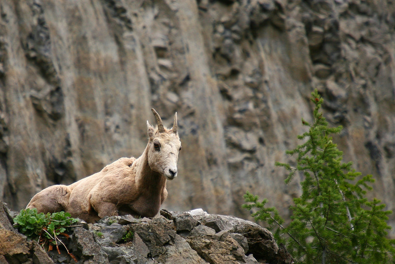 This bighorn sheep ewe has a nice vantage point