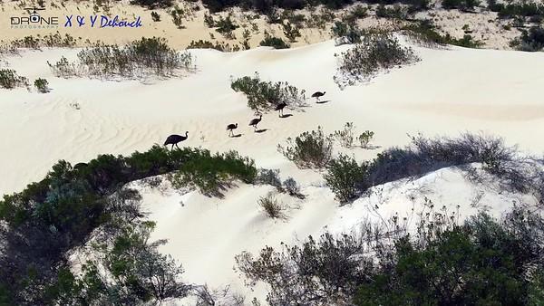 Emu family in the wild - Pinnacles Western Australia