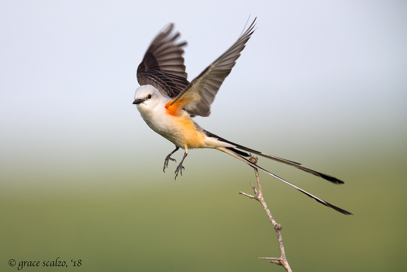 Scissor-tailed flycatcher Take off