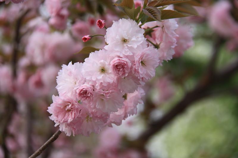 130414_IMG_1523_6321_Blossoms.JPG
