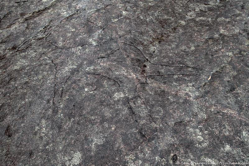 A large kangaroo engraving on a rock platform