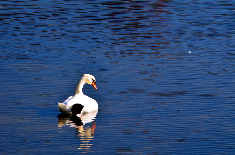 Swan 2  E. Meadow Pond 10-30-11.jpg