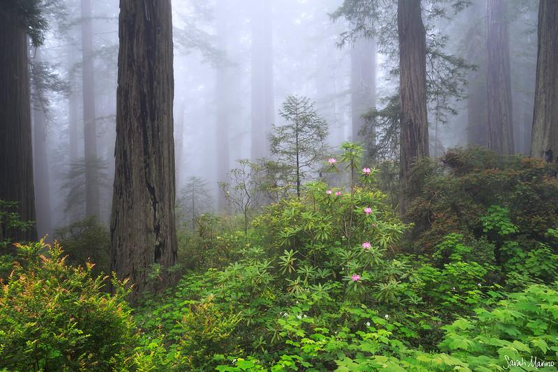 Redwoods Spring