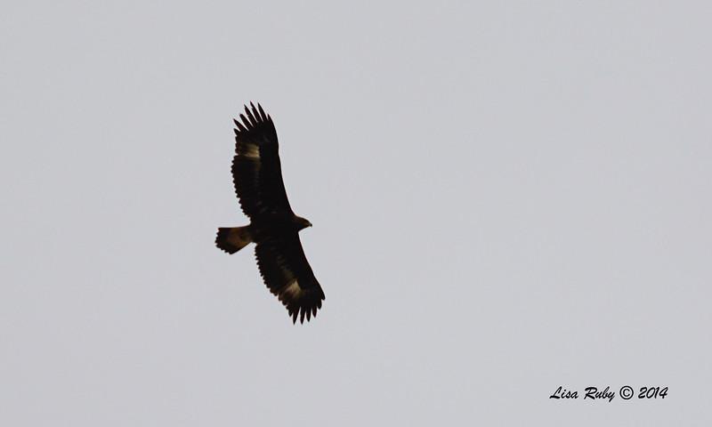 Golden Eagle - 11/30/2014 - San Jacinto Wildlife Area