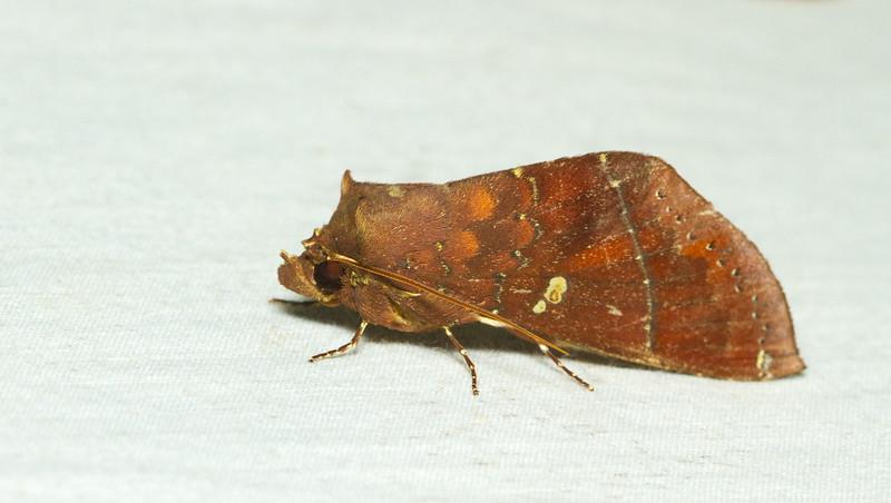 Prominent moth, Hapigia sp. (Notodontidae) from Panama.