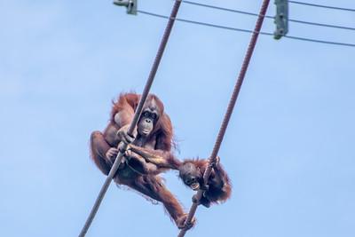 Sea lions and orangutans May 2019