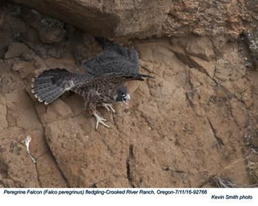 Peregrine Falcon J92766.jpg