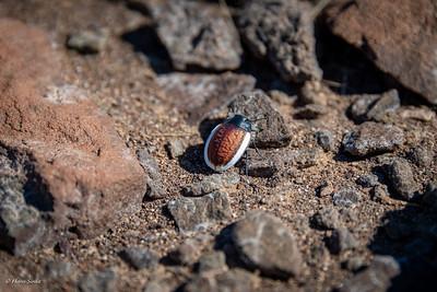 Kever (Zophosis amabilis)