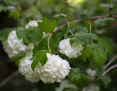 Snowball Viburnum, April 2018