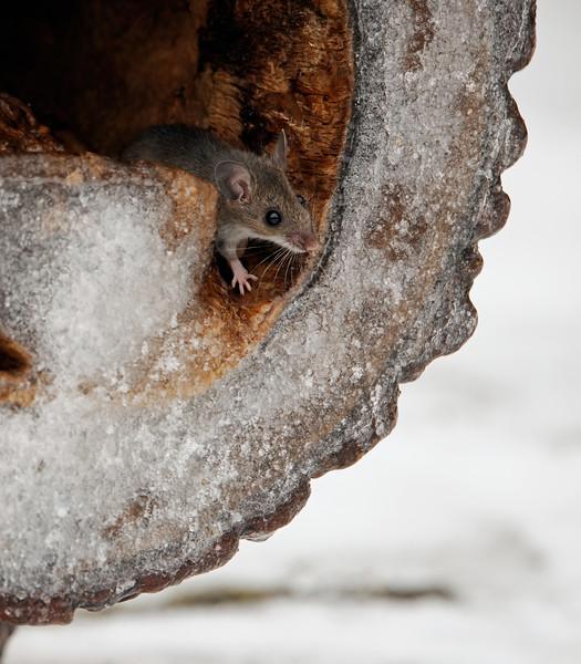 Field Mouse in Winter