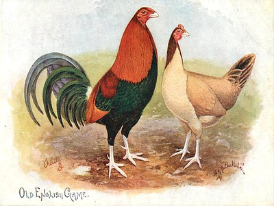 Poultry and Game Birds