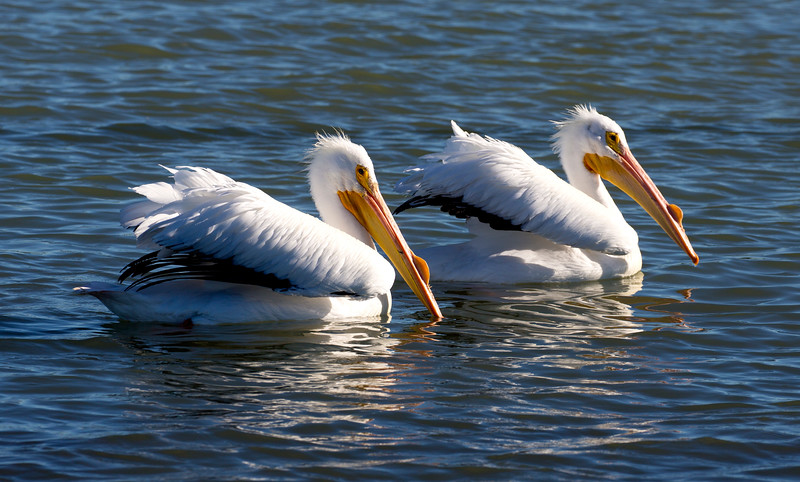 A pair of White Pelicans