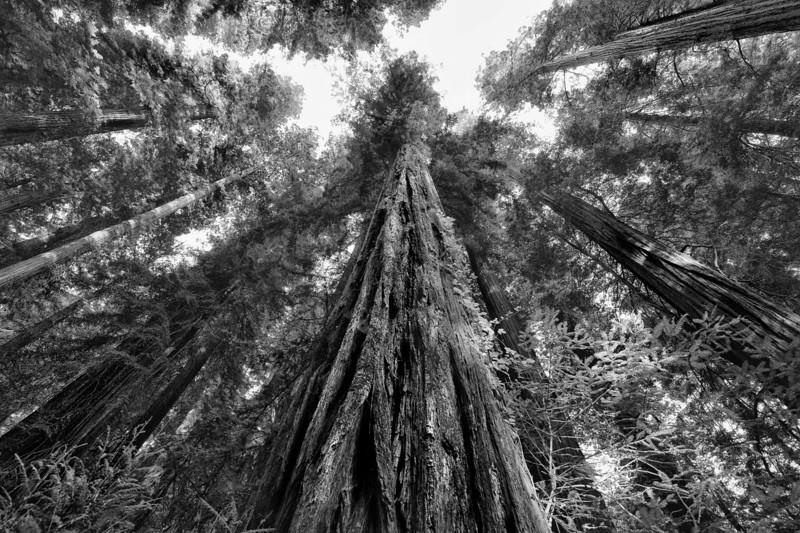 Giant Redwood Trees.
