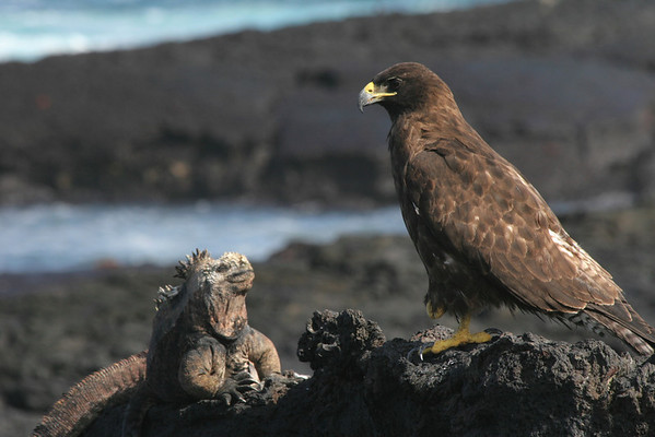 Galapgos Hawk