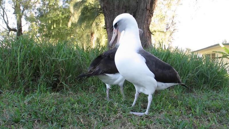 Layson Albatross Couple - 23 November 2011