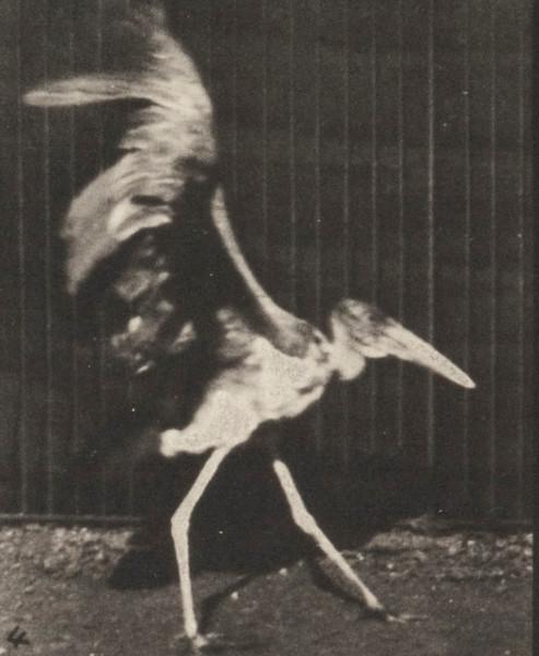 Adjutant flying run