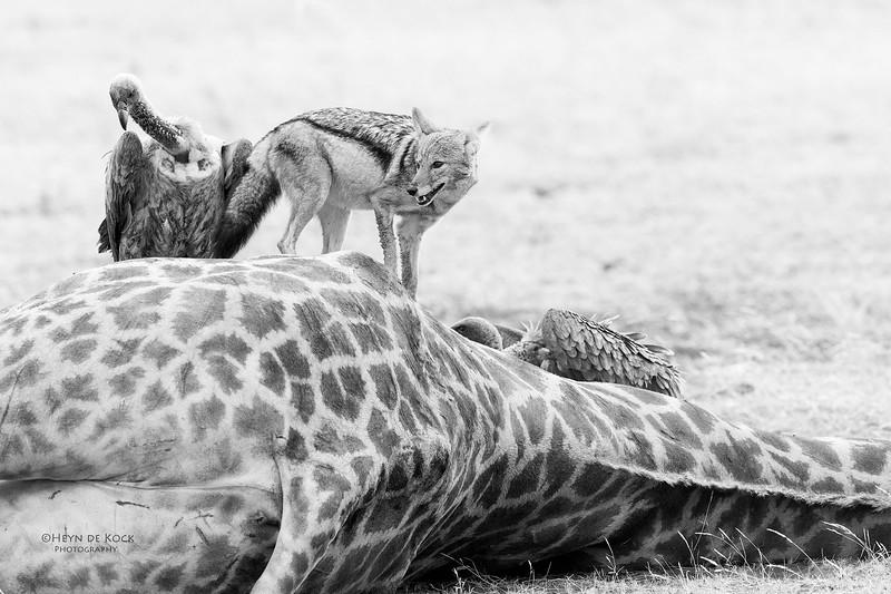Black-backed Jackal & White-backed Vulture, b&w, Mashatu GR, Botwana, May 2017-2.jpg