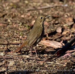 Bluebirds-Thrushes