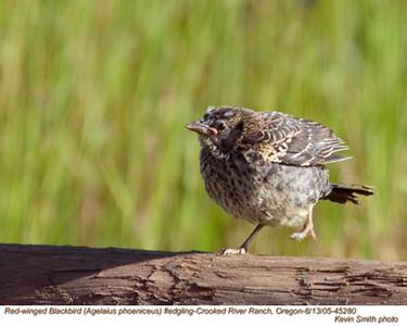 RedWingedBlackbirdF45280.jpg