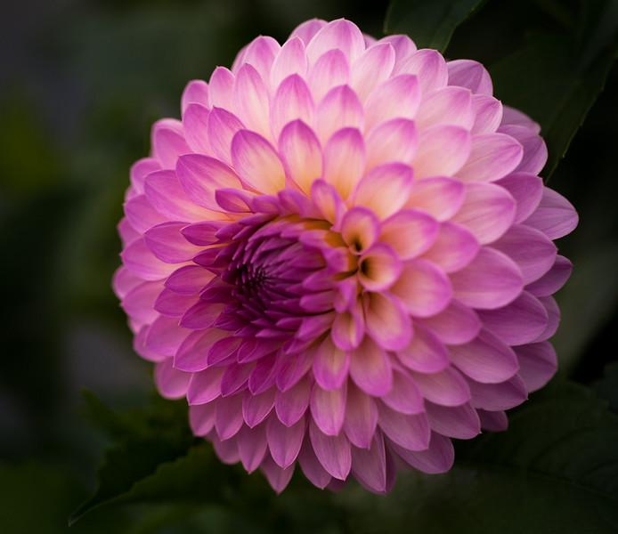 Purple Dallia
