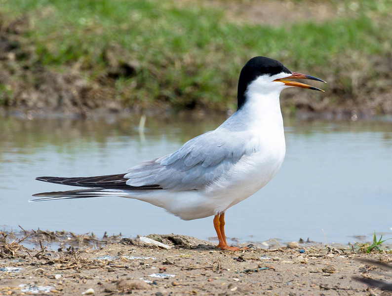 A very pretty Common Tern.