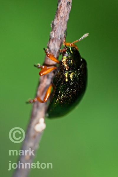 Beetles - Coleoptera
