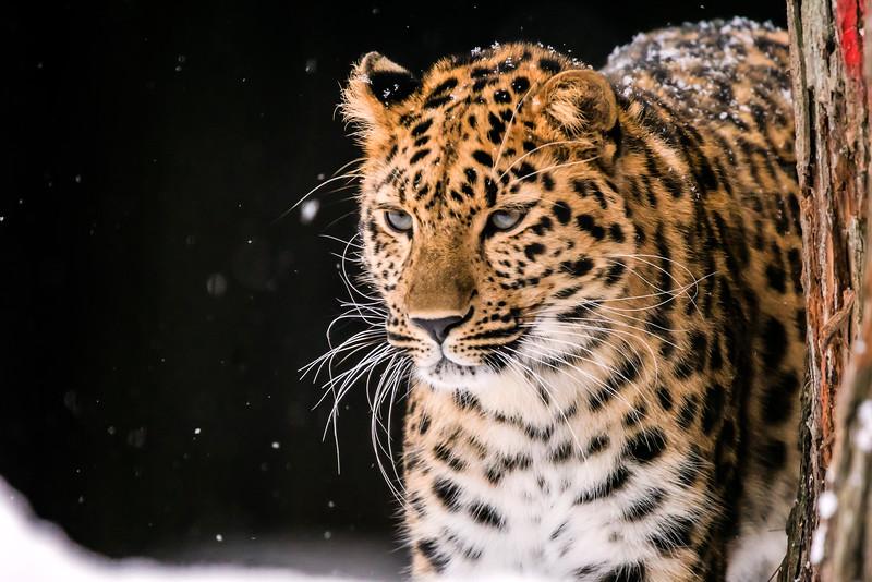 Amur leopard - Amurinleopardi - Panthera pardus orientalis