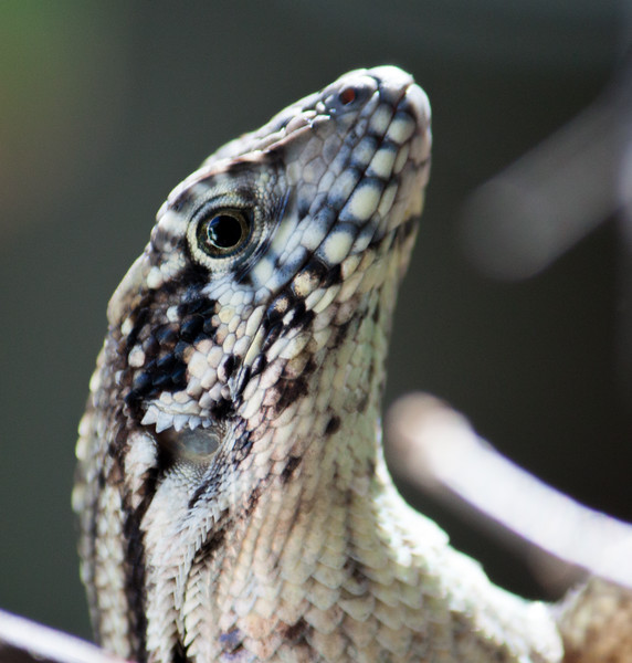 curly tail lizard face