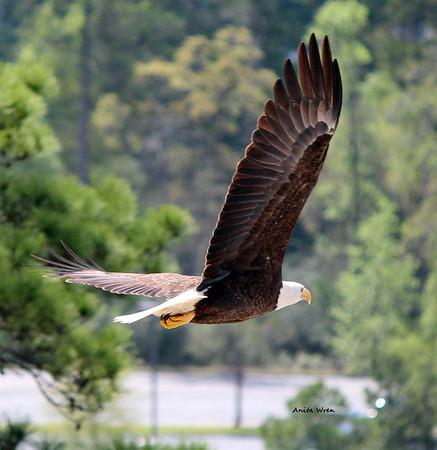 The Woodlands Bald Eagle